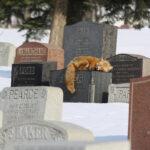 [:ru]Лисы «посещают» могилы вместо людей в парижском Пер-Лашез[:]